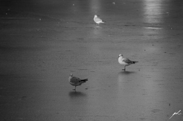 black and white, nature, cold, winter, birds, frozen